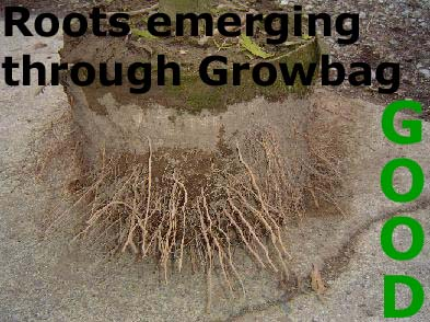 Roots Emerging Through Grow Bag