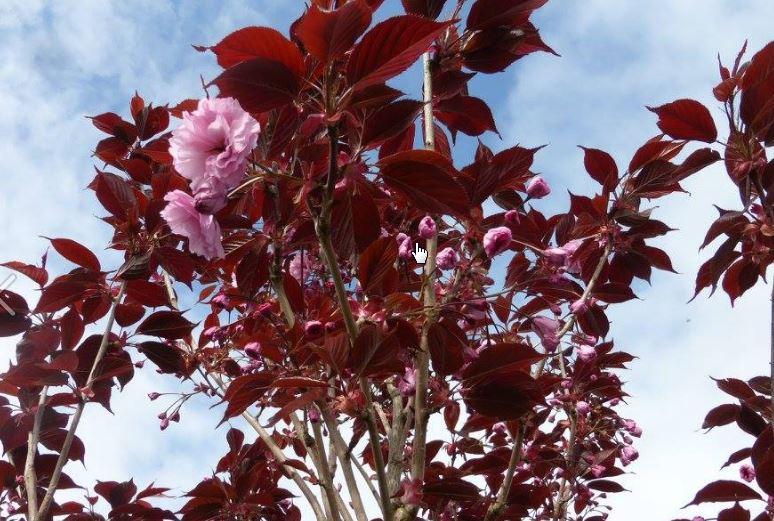 Tree Profile For The Royal Burgundy Cherry Urban Forest Nursery