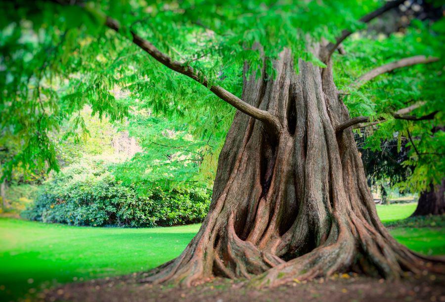 Tree Profile For Dawn Redwood Urban Forest Nursery Inc
