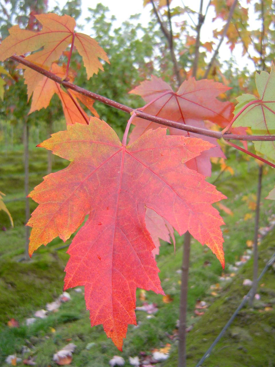 Autumn Blaze Maple Leaf