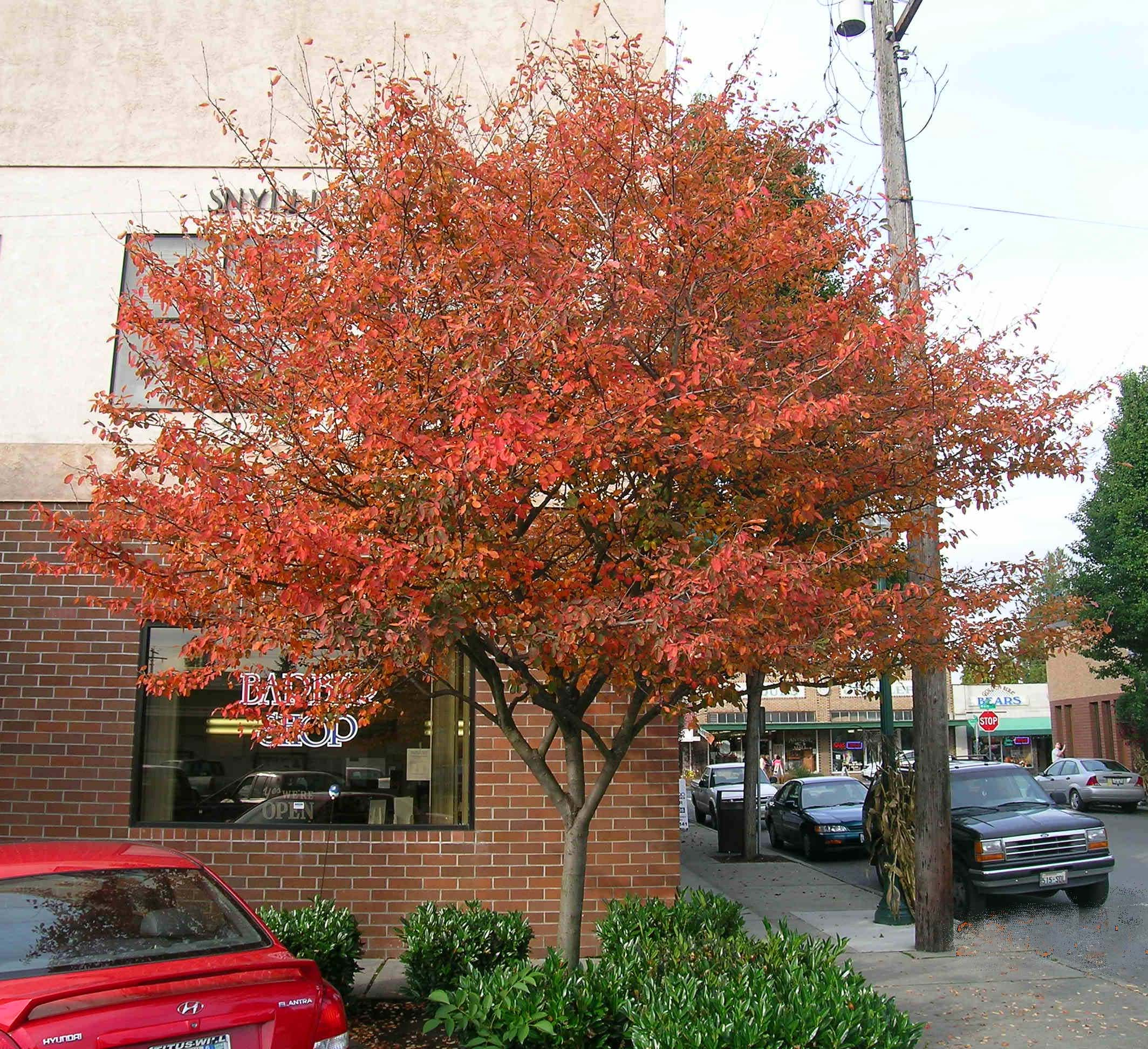 Autumn Brilliance Serviceberry Fall Color