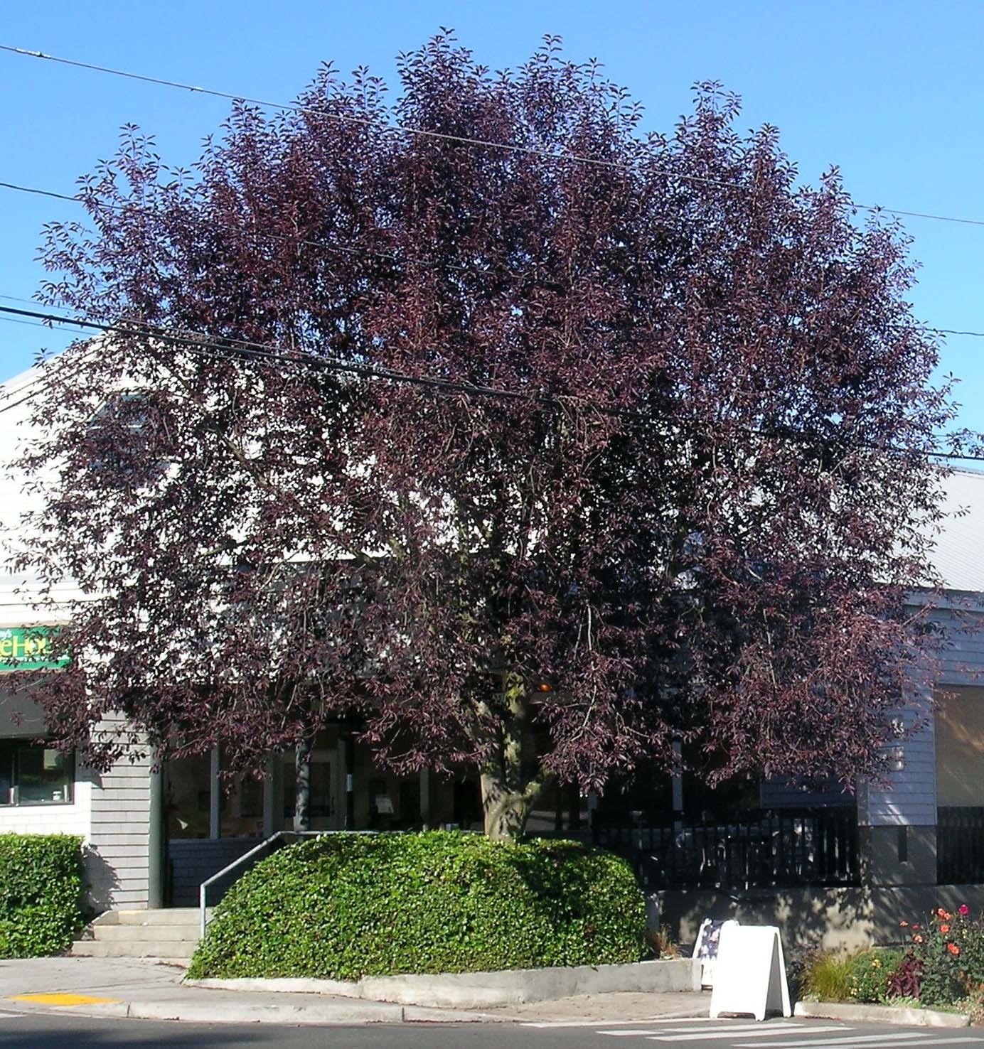 Canada Red Chokecherry Ornamental Cherry Trees