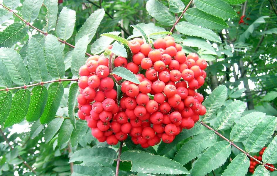 Cardinal Royal Mountain Ash Berries