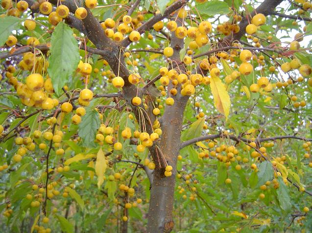 Golden Raindrops Flowering Crab Berries