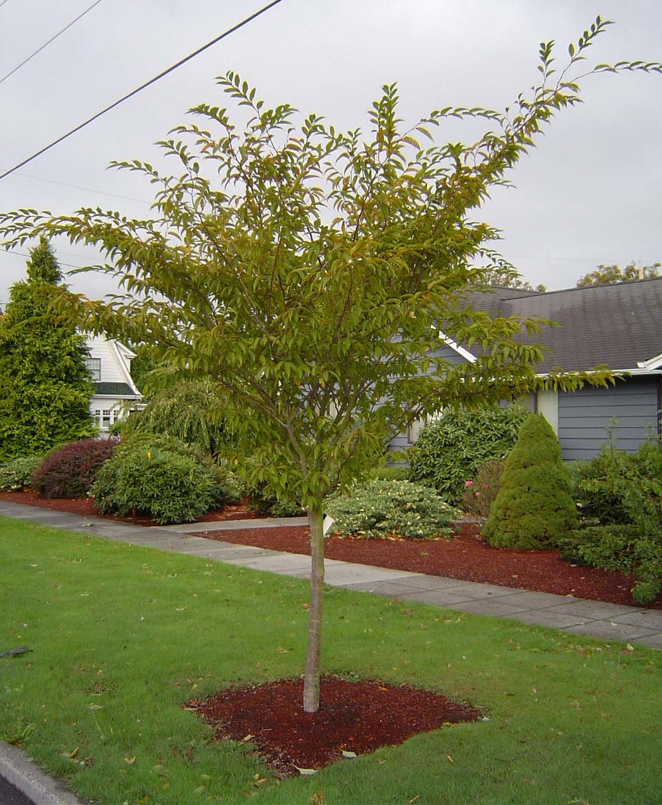 Landscaping landscaping small trees pictures - Decorative small trees for landscaping ...