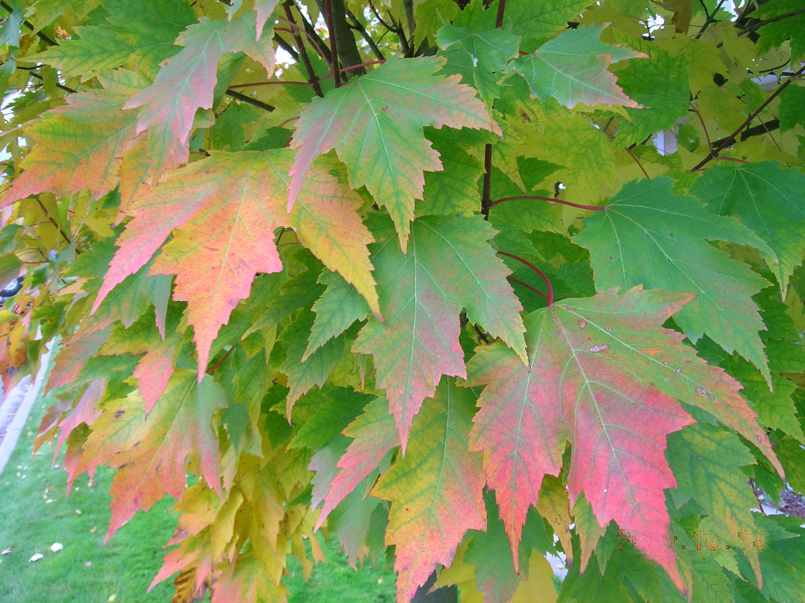 Karpick Red Maple Leaves