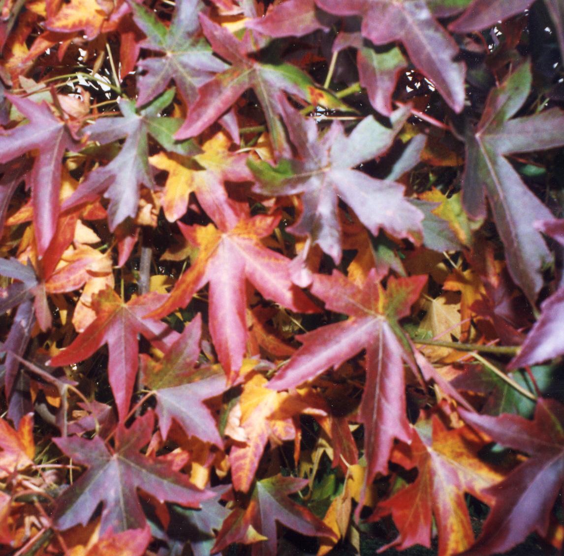 Sweetgum Leaves