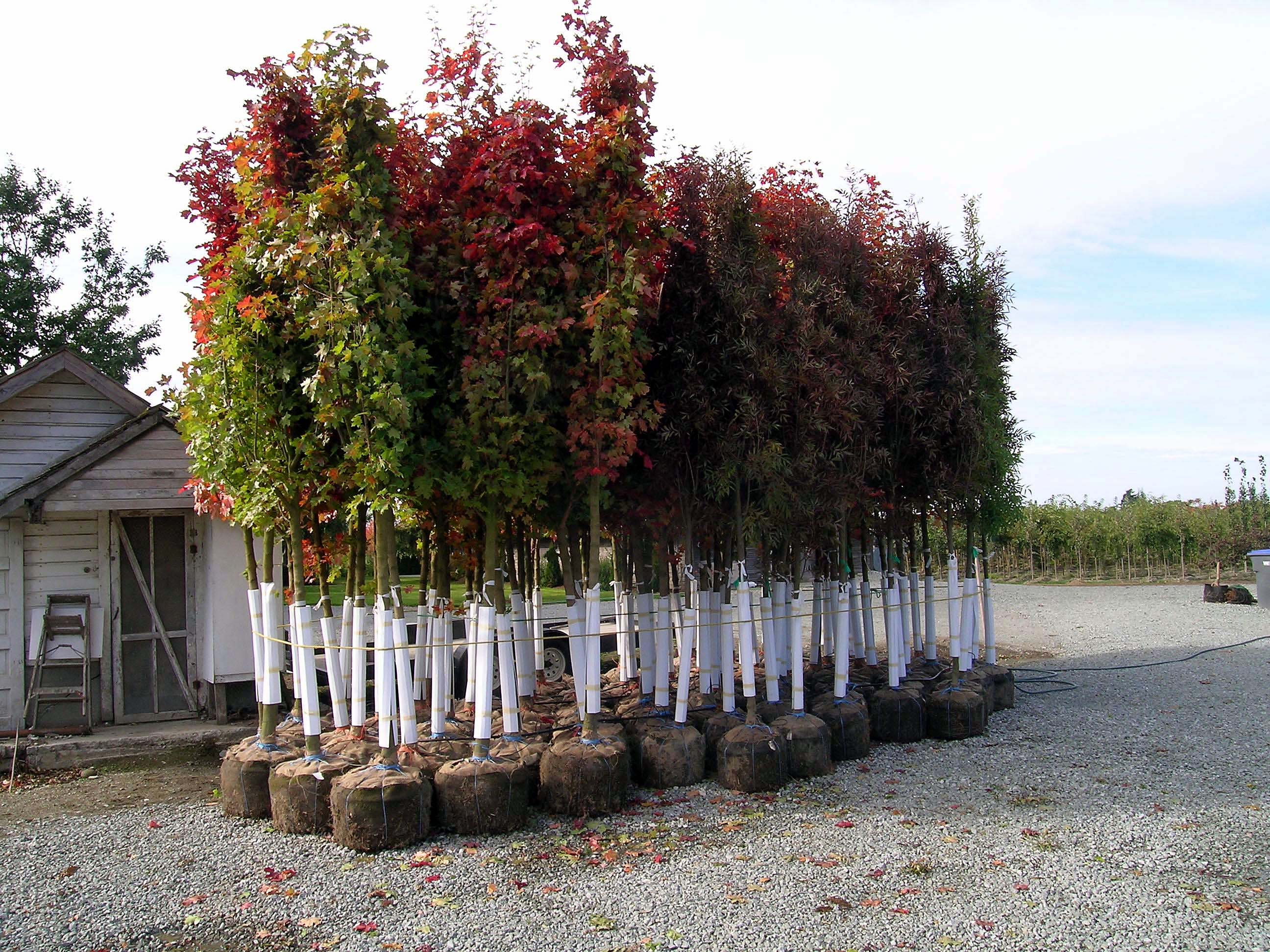 Group Of Trees In Grow Bags Urban Forest Nursery Inc