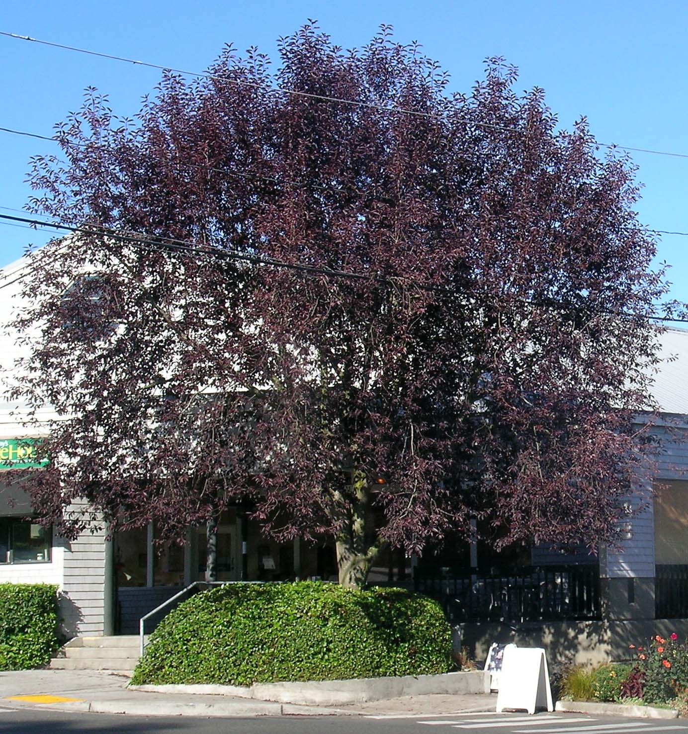Canada Red Chokecherry Ornamental Cherry Trees